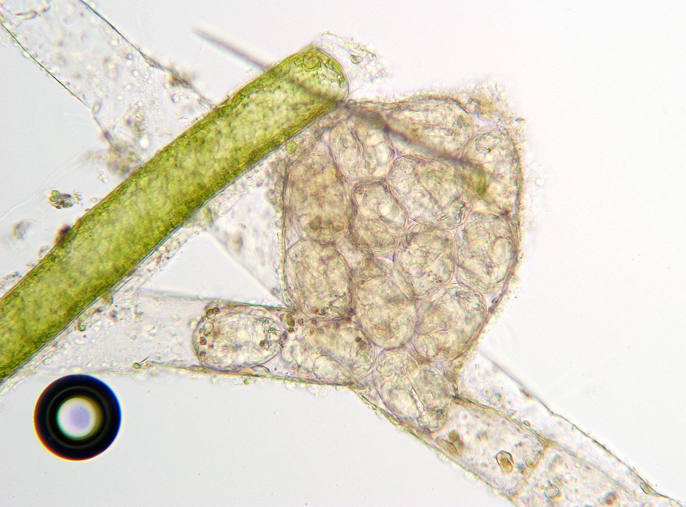 Image of <i>Pourriotia werneckii</i> (Ehrenberg 1834)
