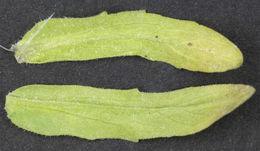 Image of <i>Golovinomyces orontii</i> (Castagne) V. P. Heluta 1988