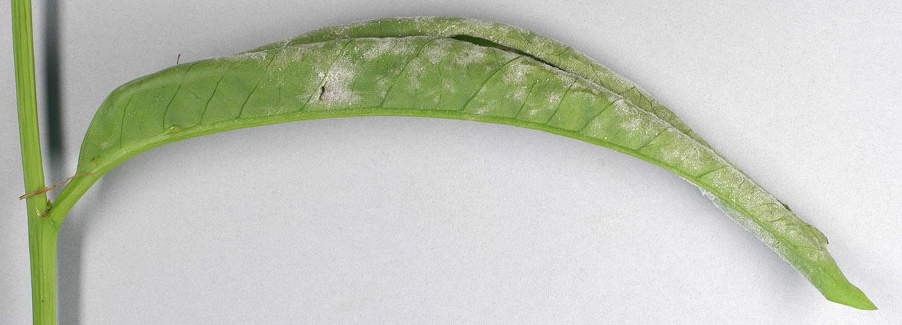 Image of <i>Podosphaera pannosa</i> (Wallr.) de Bary 1870