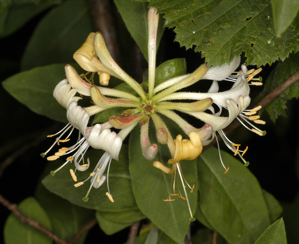 Image of European honeysuckle