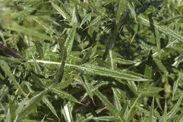 Image of <i>Cirsium vulgare</i> (Savi) Ten.