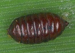 Image of <i>Agromyza rondensis</i> Strobl 1900