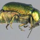 Image of <i>Cryptocephalus aureolus</i> Suffrian 1847