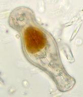 Image of <i>Didymosphenia geminata</i>