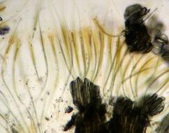 Image of <i>Rivularia haematites</i> (Dc) C. A. Agardh