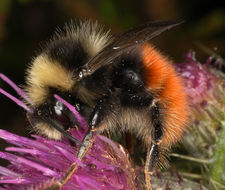 Image of <i>Bombus monticola</i> Smith 1849