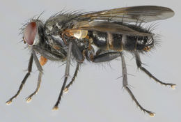 Image of <i>Paykullia maculata</i> (Fallen 1815)