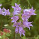 Image of nettle-leaf bellflower