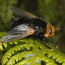 Image of giant tachinid fly