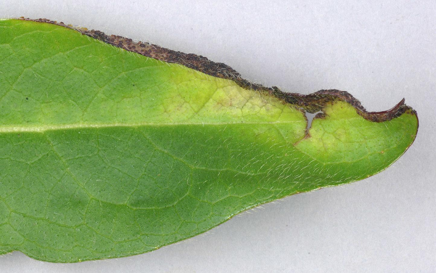 Image of <i>Synchytrium succisae</i> de Bary & Woronin 1865