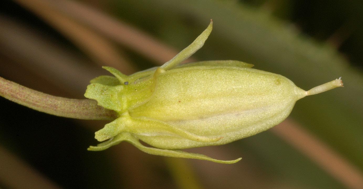 Image of <i>Viola persicifolia</i> Schreb.