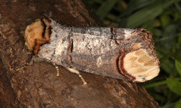 Image of Buff-tip