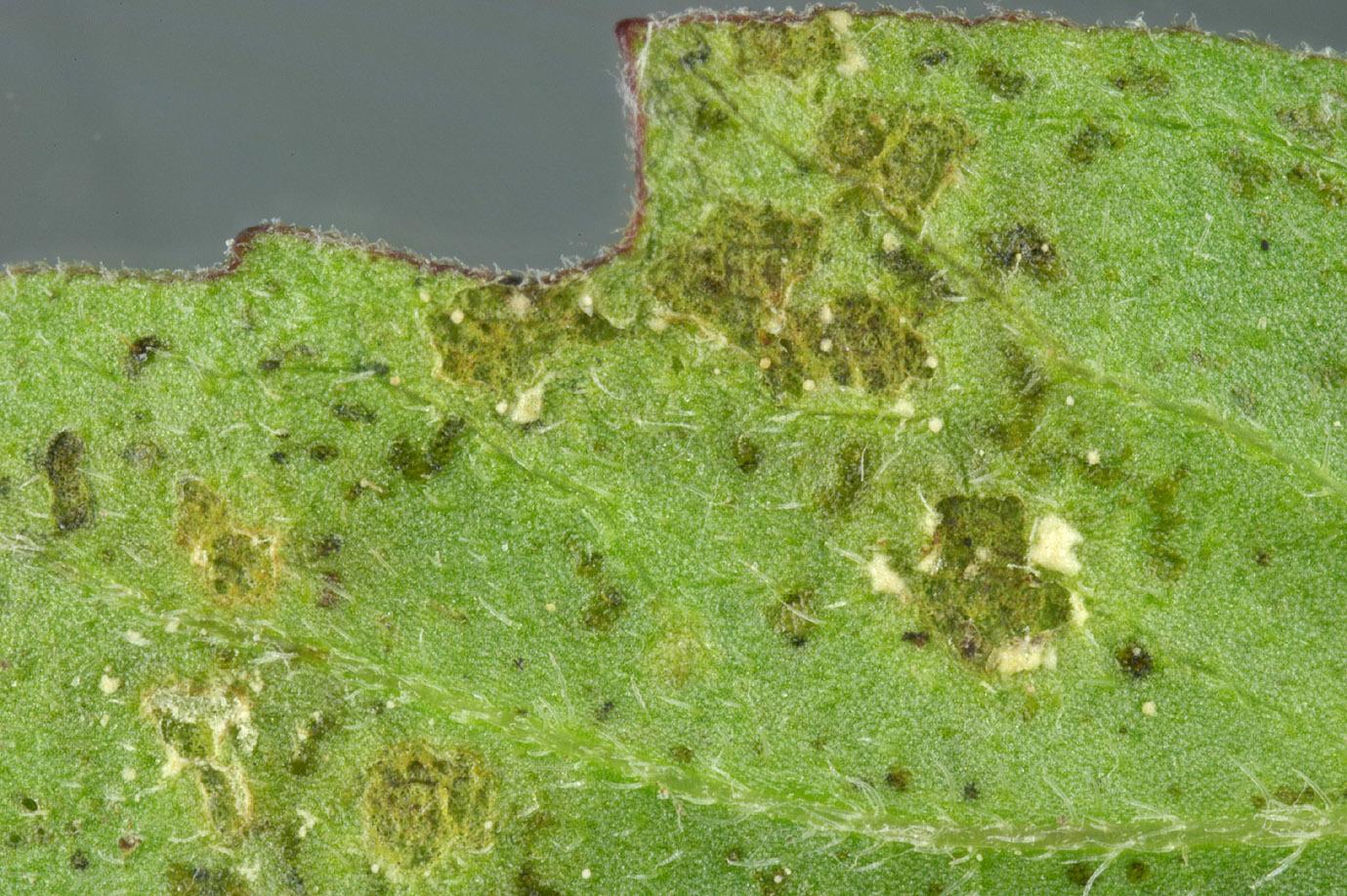 Image of <i>Albugo <i>tragopogonis</i></i> var. tragopogonis