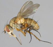 Image of <i>Siphona cristata</i> (Fabricius 1805)