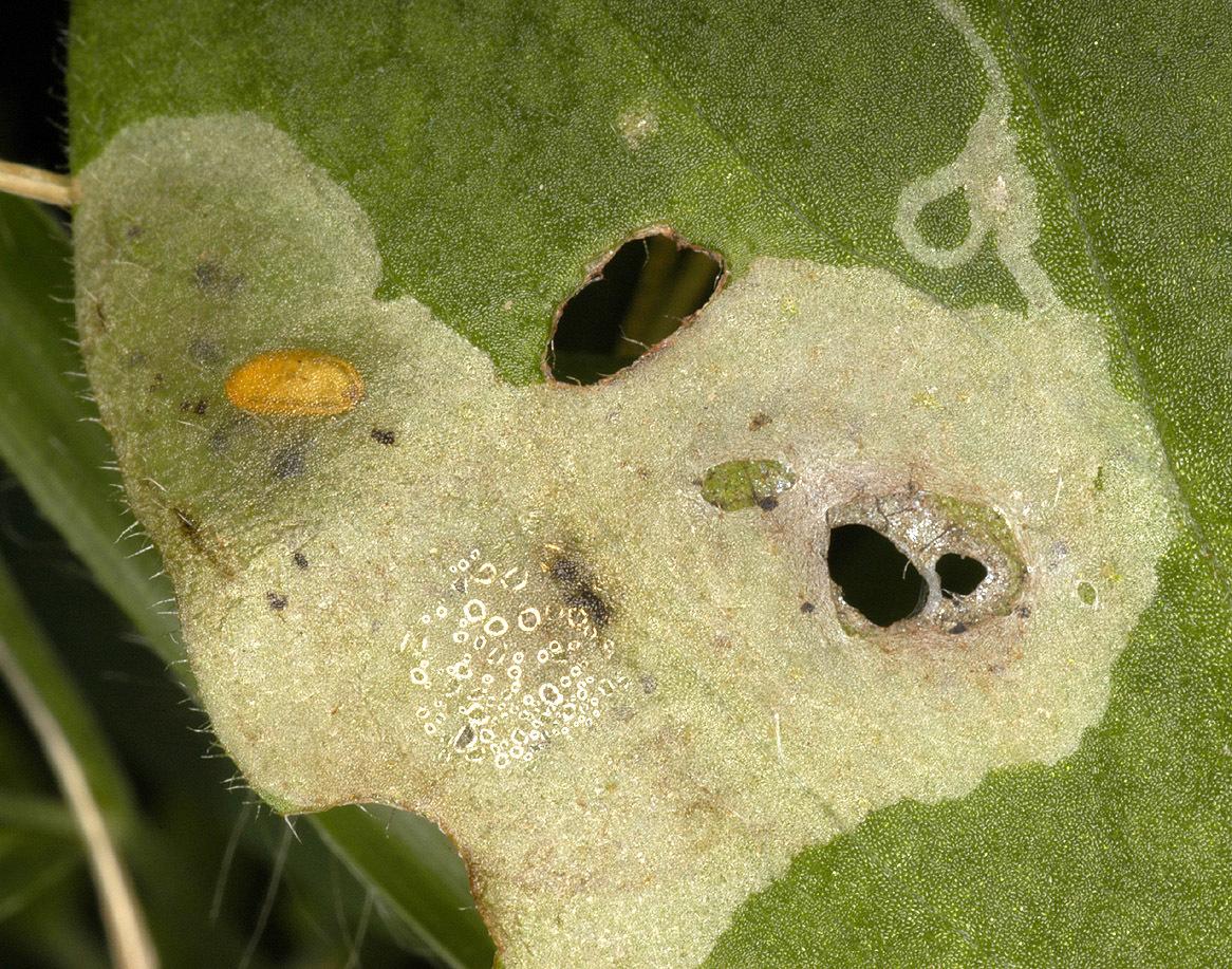 Image of <i>Amauromyza flavifrons</i> (Meigen 1830)