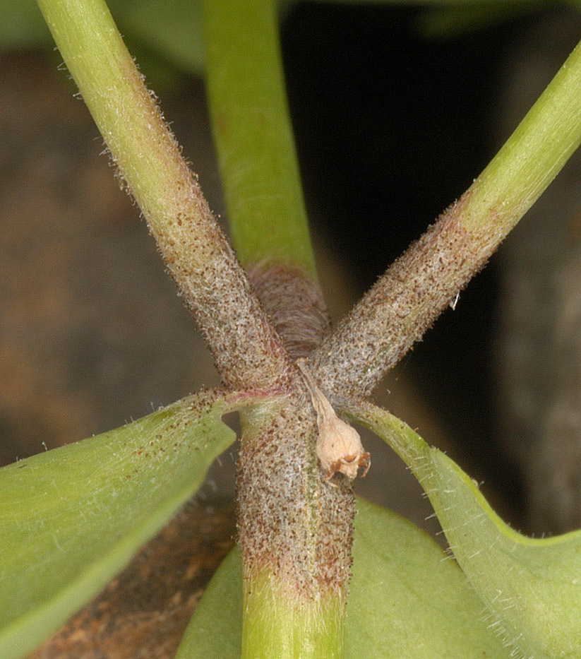 Image of <i>Ampelomyces quisqualis</i> Ces. 1852