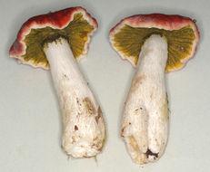 Image of <i>Hypomyces viridis</i> P. Karst. 1873