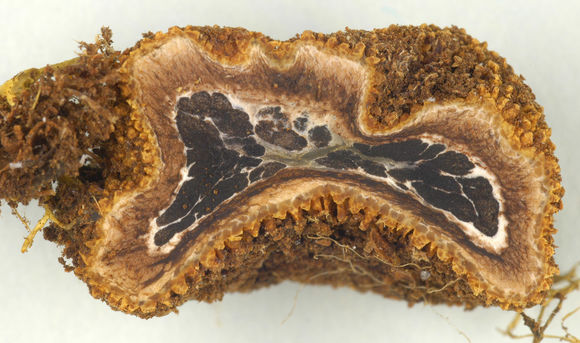 Слика од <i>Elaphomyces muricatus</i> Fr. 1829