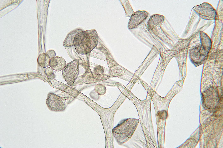 Image of <i>Syzygites megalocarpus</i> Ehrenb. 1818