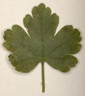 Image of <i>Microsphaera grossulariae</i> (Wallr.) Sacc. 1882