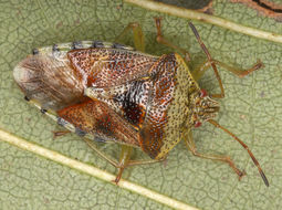 Image of Parent bug