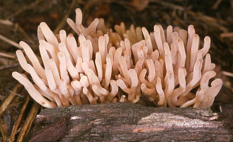 Image of <i>Clavulinopsis umbrinella</i> (Sacc.) Corner 1950