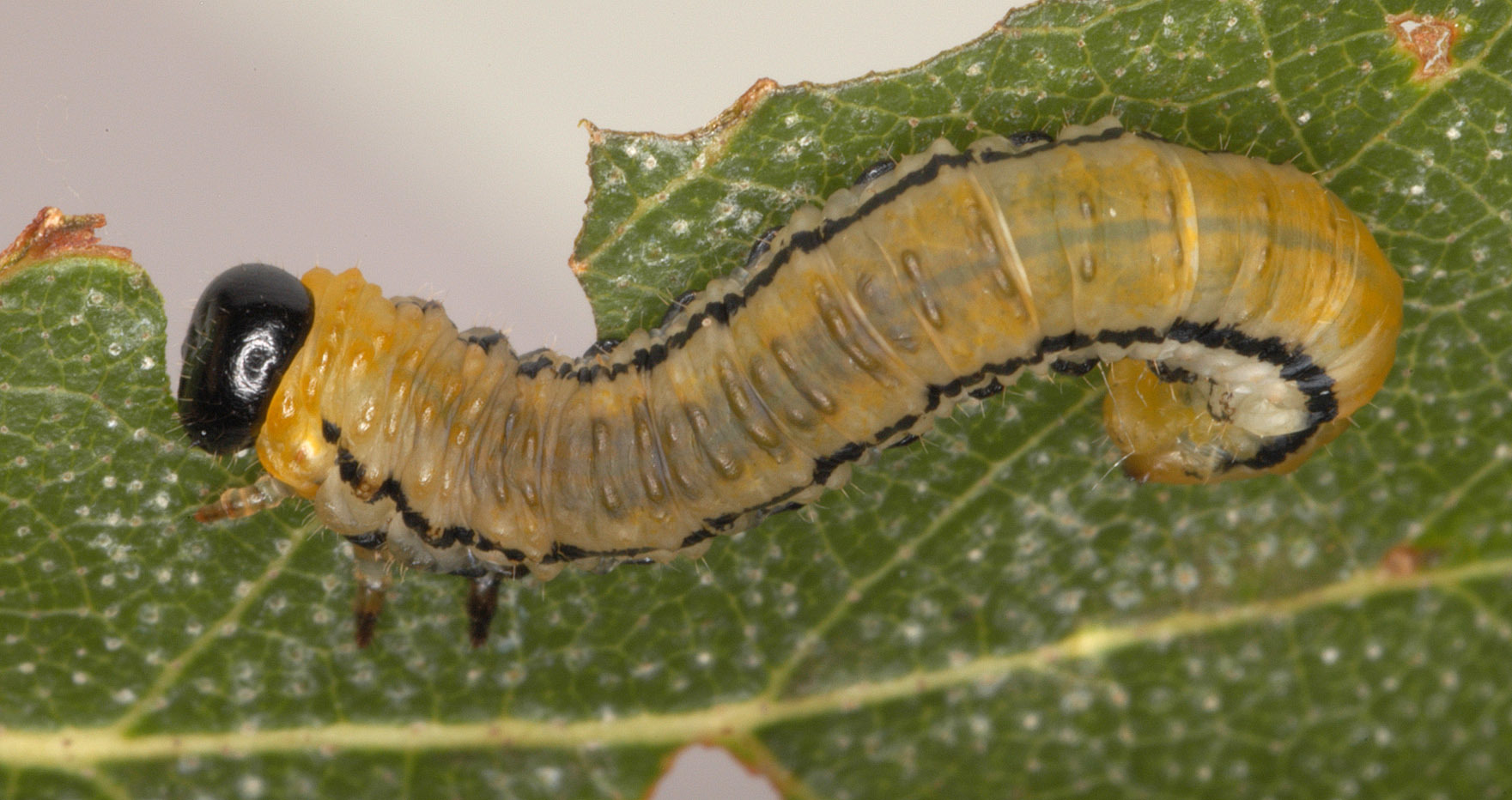 Image of Striped Alder Sawfly