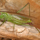 Image of Long-winged conehead
