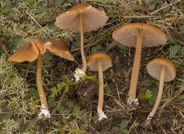Image of <i>Entoloma formosum</i> (Fr.) Noordel. 1985