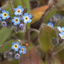 Image of Early Forget-me-not