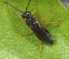 Image of Symphyta