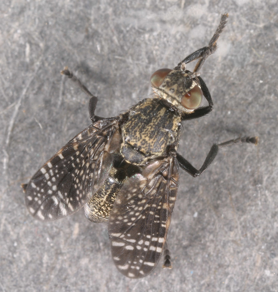 Image of Fly