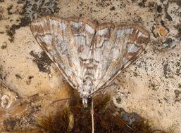 Image of <i>Nymphula nitidulata</i> (Hufnagel 1767) Hufnagel 1767