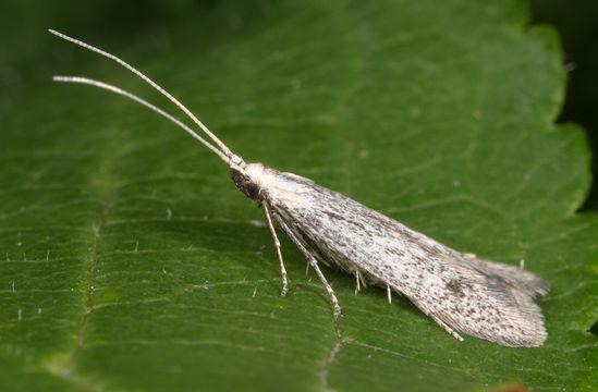 Image of grey fruit-tree case moth