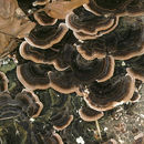 Image of Turkey Tail