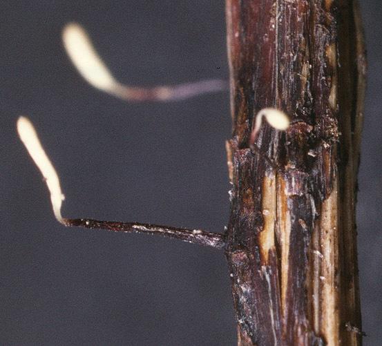 Image of <i>Typhula erythropus</i> (Pers.) Fr. 1818