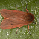 Image of <i>Phragmatobia fuliginosa</i>