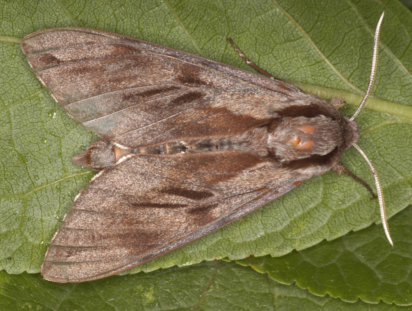 Image of Pine hawkmoth