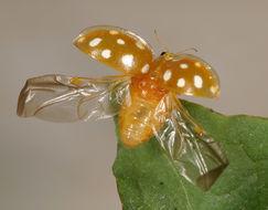 Image of <i>Halyzia sedecimguttata</i> (Linnaeus 1758) Linnaeus 1758