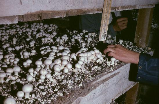 Image of commercial mushroom