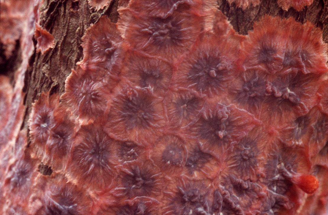 Image of <i>Phlebia radiata</i> Fr. 1821