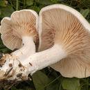 Image of sweetbread mushroom