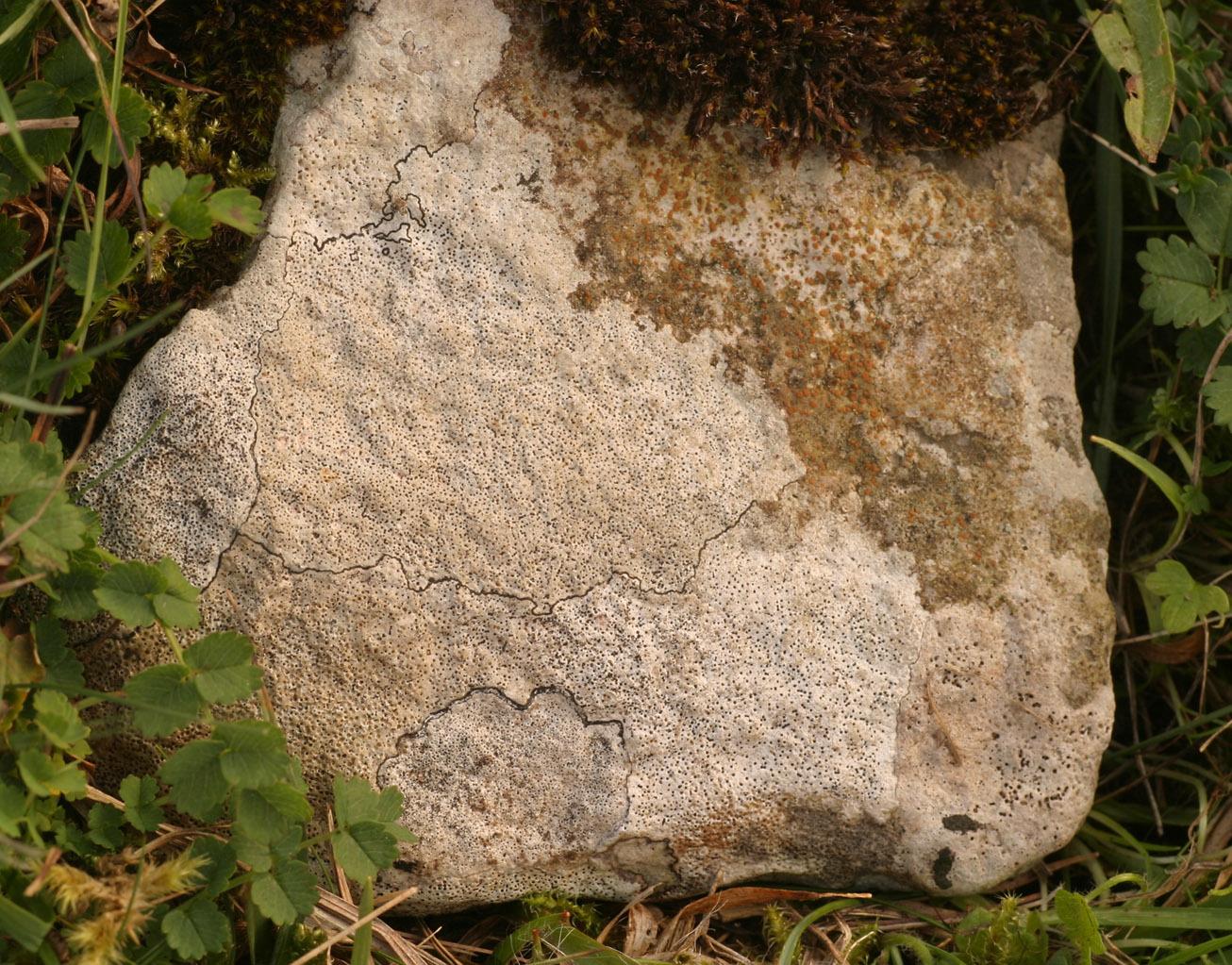 Image of <i>Verrucaria baldensis</i>