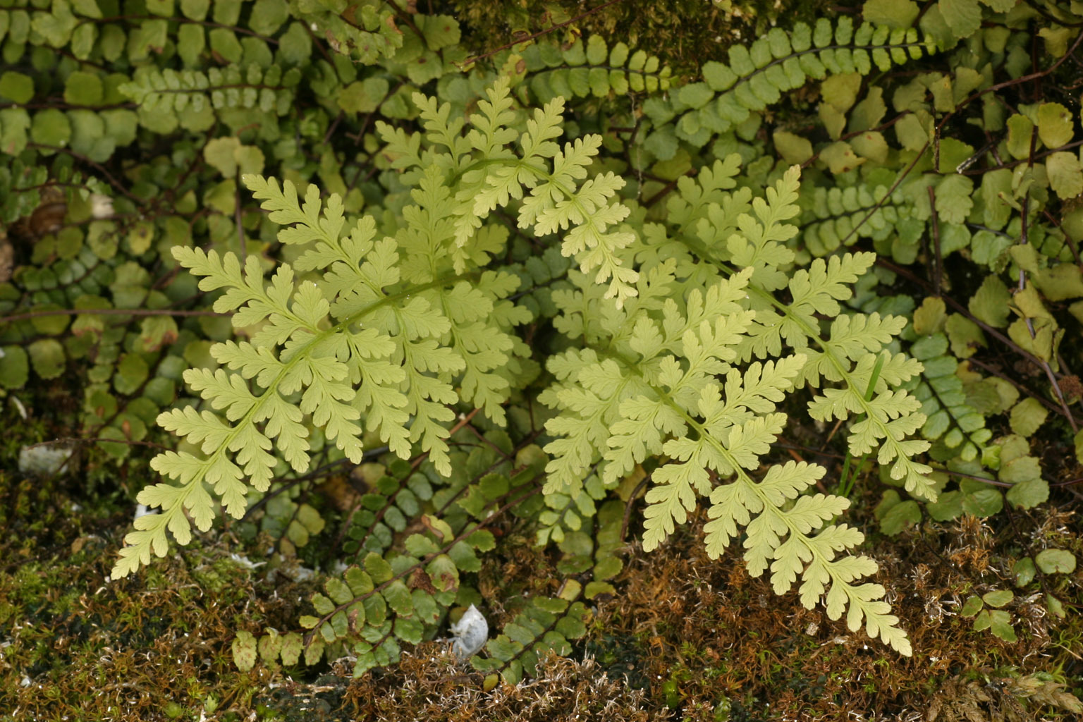 Image of brittle bladderfern