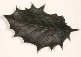 Image of <i>Calonectria ilicicola</i> Boedijn & Reitsma 1950