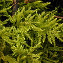 Image of Fox-tail Feather-moss
