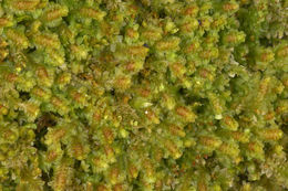 Image of Common Fold-leaf Liverwort