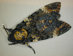 Image of Death's Head Hawkmoth