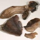 Image of <i>Neohygrocybe ovina</i>