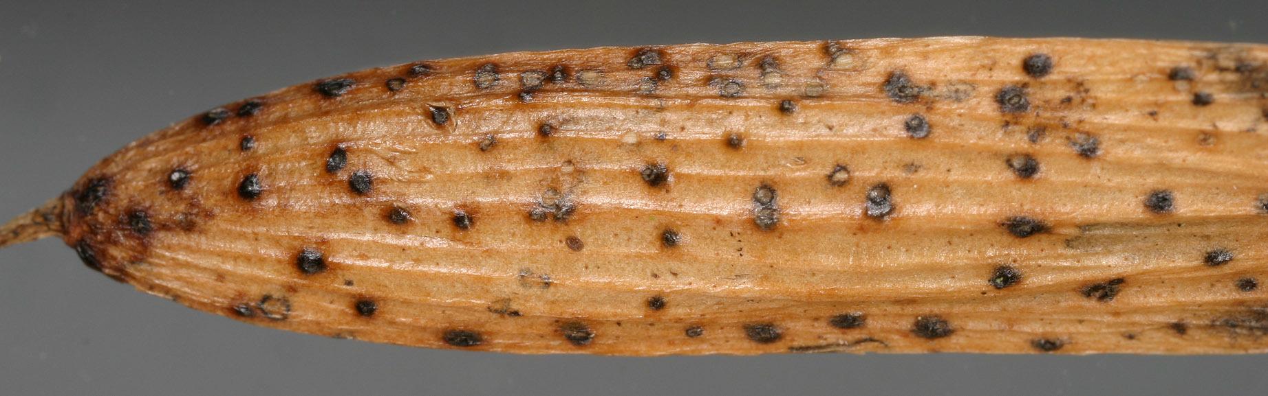 Image of <i>Diaporthe samaricola</i>